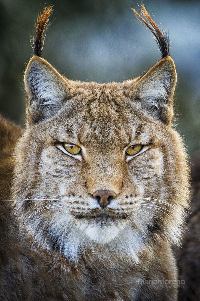 Photo in Random #ypa2013 #lynx #eurasian #big #cat #feline #cantabria #spain #predator #portrait #mario moreno #wildlife #nature