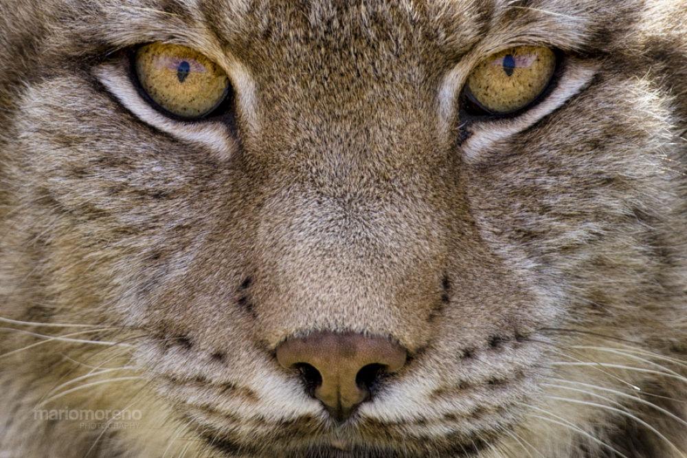 Photo in Animal #ypa2013 #wildlife #nature #feline #big #cat #eurasian #lynx #boreal #spain #cantabria #mario moreno #safari #photographic #predator #eyes #portrait #close #up