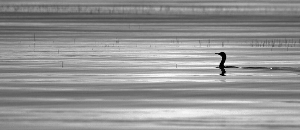 Photo in Random #little #black #cormorant #bird #wildlife #new zealand #rotorua #photographer #white #water #reeds #ripples #sunlight #stallion #photography #igallopfree
