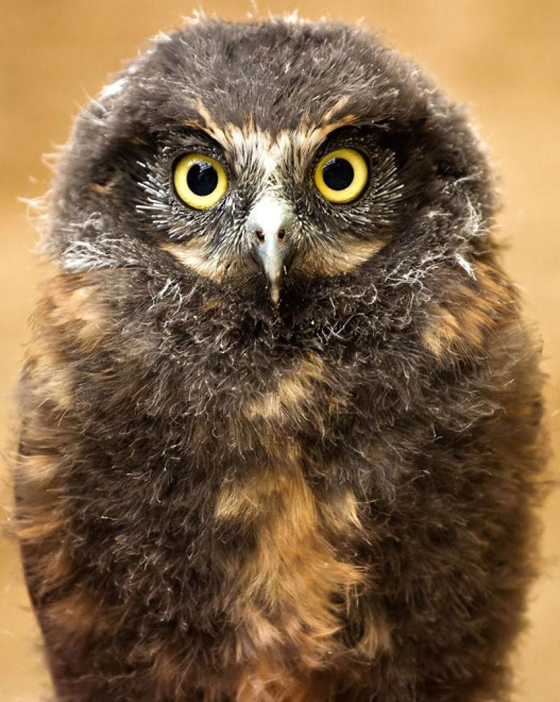 Photo in Animal #new zealand #owl #bird #wildlife #rotorua #photographer #wingspan #morepork #chick #portrait #yellow #eye #brown #feathers #prey #hooked #beak #stare #look #black #stallion #photography #igallopfree