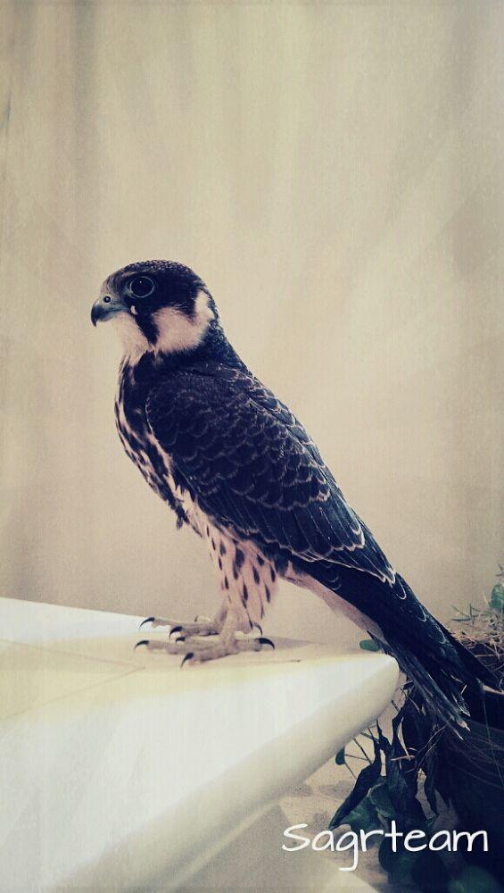 Photo in Animal #hawk #look #nice #animal #king #wild #great #arabic #sagr #finland #bet #lovley #shahin