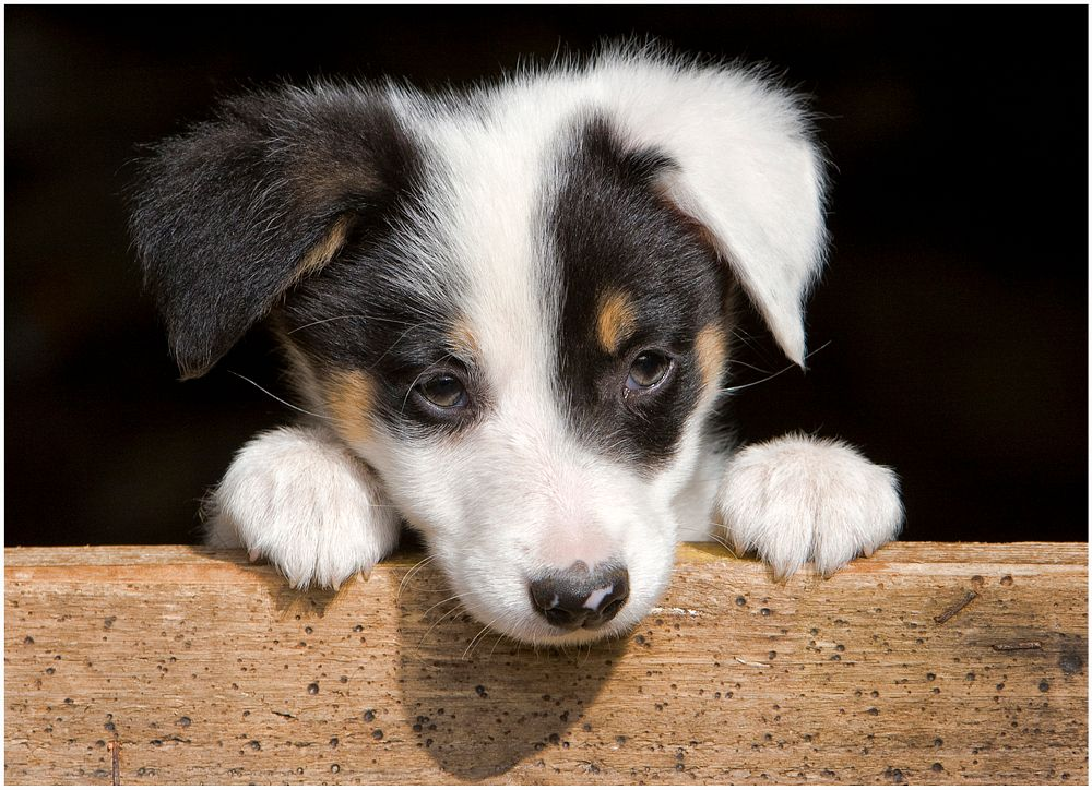Photo in Animal #sheepdog #welsh sheepdog #collie #puppy #wales