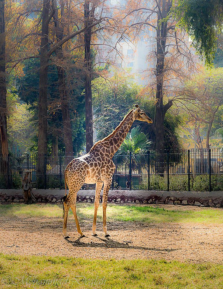 Photo in Animal #zoo #girrafe #animal
