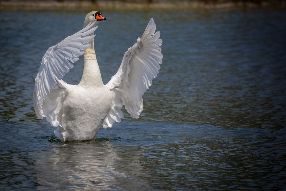 Photo in Animal #swan #lake #spring #ballet #beautiful #white #birds #water #day #feathers