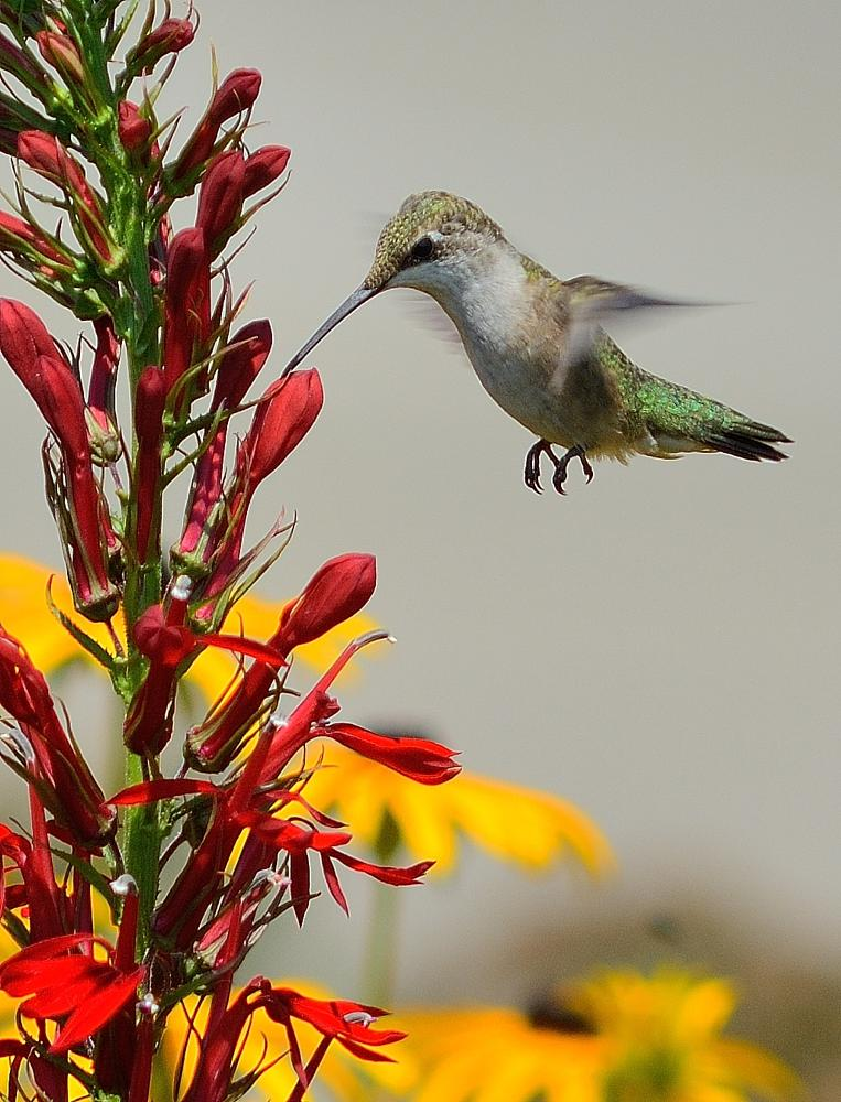Photo in Nature #birds #humming bird #in-flight