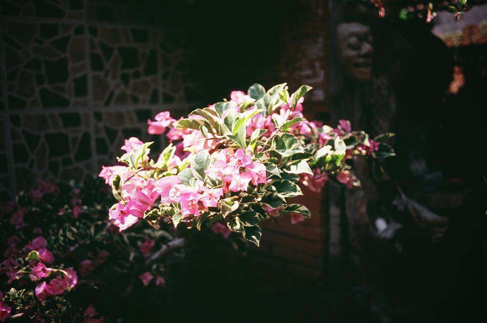 Photo in Nature #35mm #bali #film #flowers #fujichrome velvia 100 #maxxum5 #super takumar 35mm #ubud