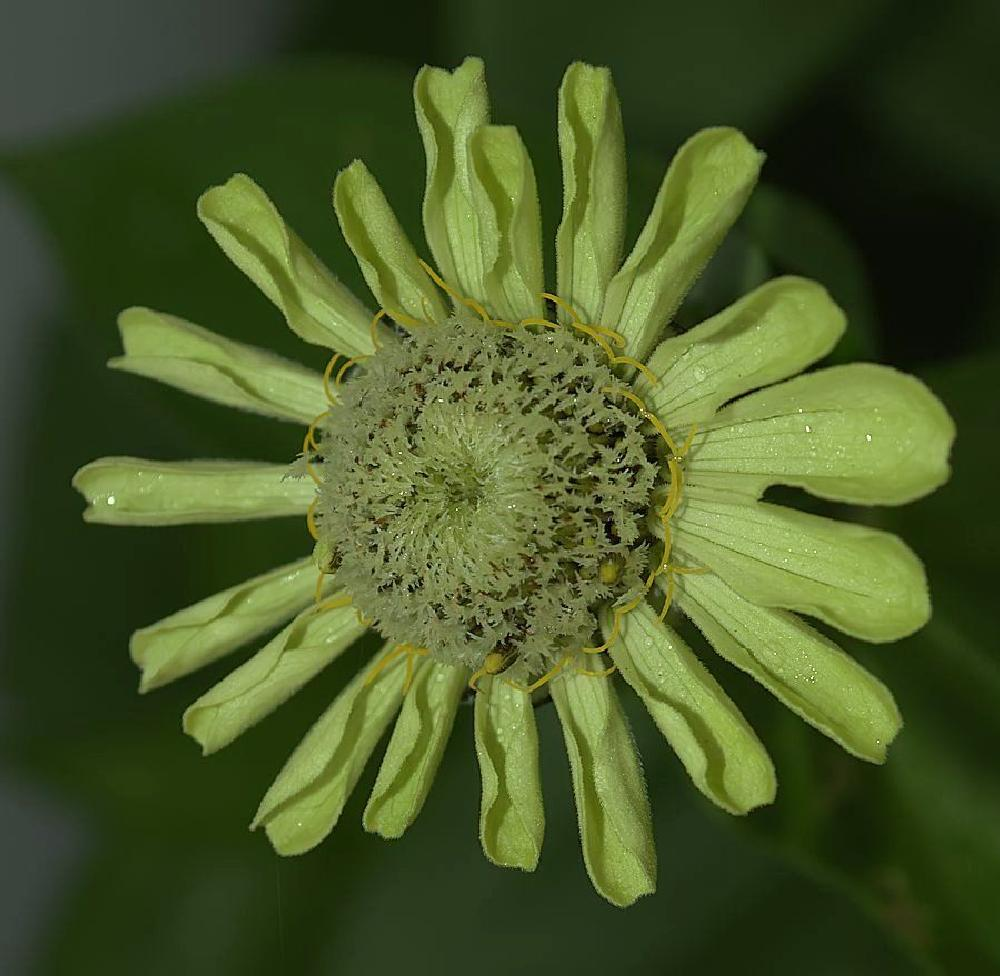 Photo in Nature #flower #zinnia #emerald #green