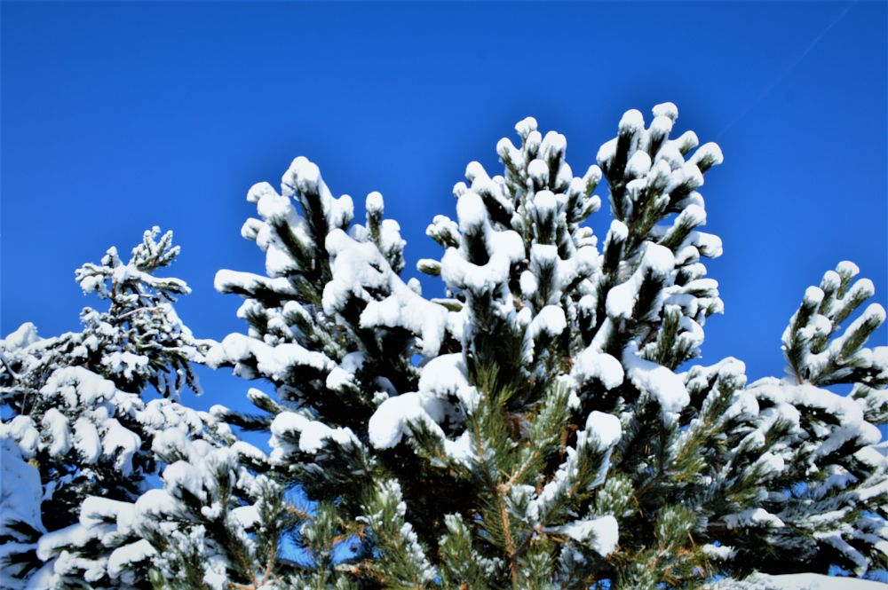 Photo in Nature #evergreen trees #snow #winter