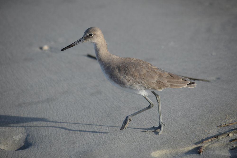 Photo in Animal #bird #beach bird #ocean bird