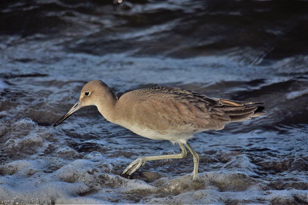Photo in Animal #shore bird #ocean bird #coastal bird