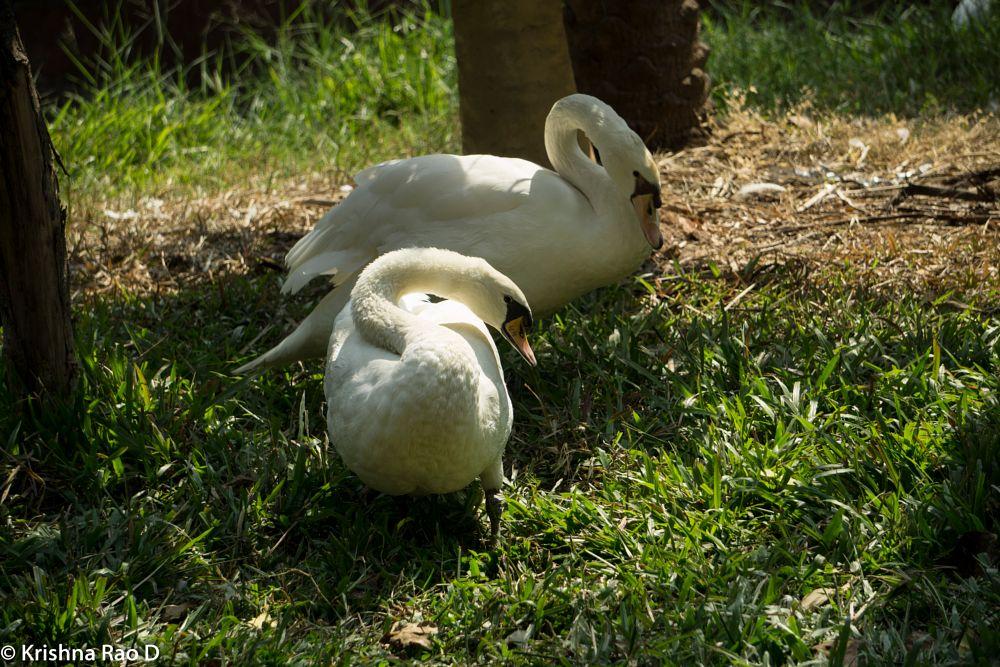 Photo in Nature #swan #white swan #bird #animal #nature
