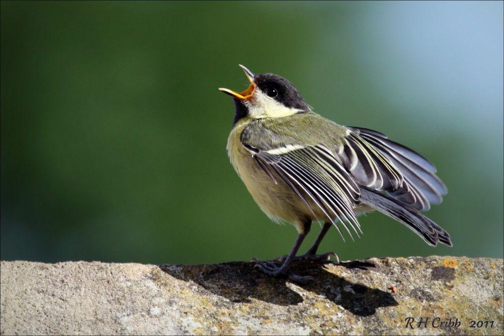 Photo in Nature #great tit bird nature wildlife