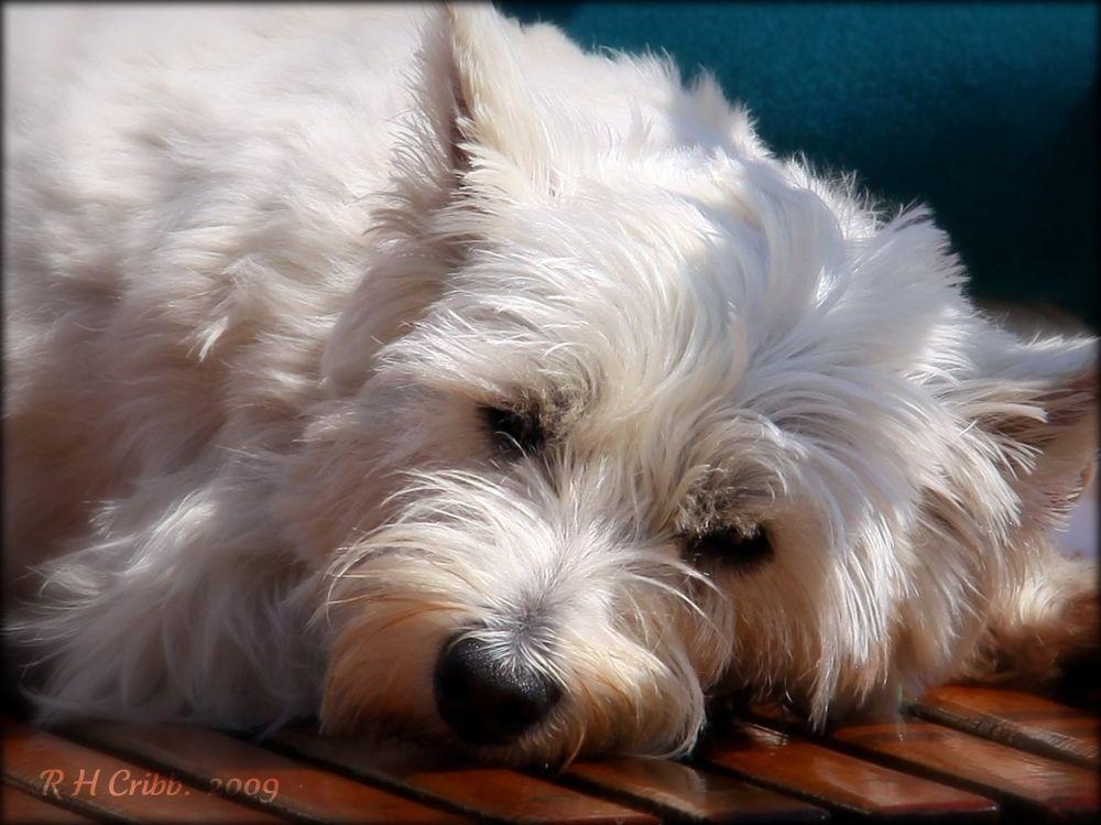 Photo in Animal #westie west highland scot  dog #terrier