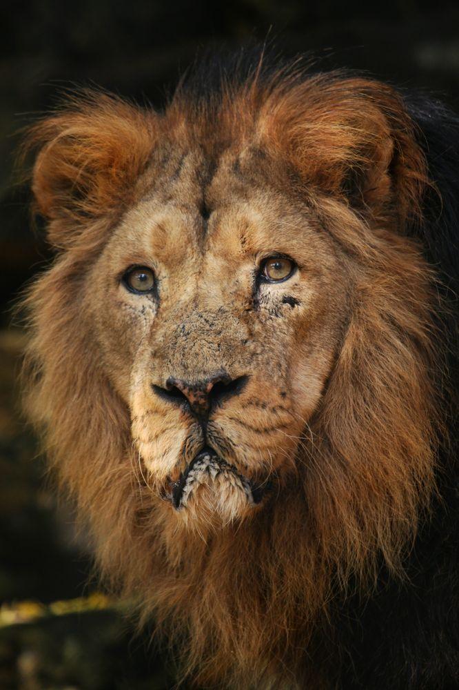 Photo in Animal #animal lion asiatic bristol zo