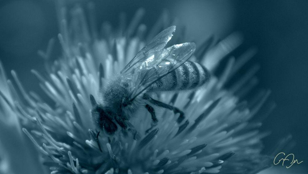 Photo in Macro #honeybee #macrophotography #duotone #b&wphotography #naturephotography #along the trail