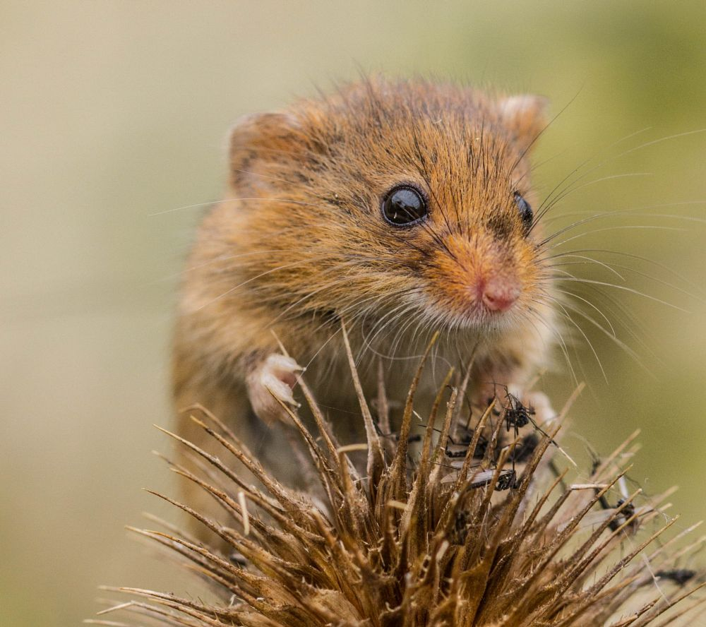 Photo in Macro #harvest mouse #mice #rodent #nature #mammal #garry chisholm #macro