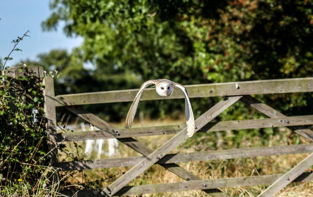 Photo in Animal #barn #owl #bird #prey #nature #wildlife