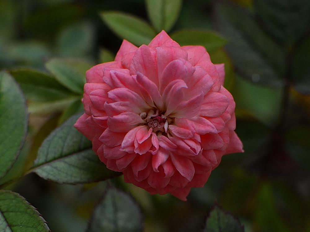 Photo in Nature #garden #flower #rose