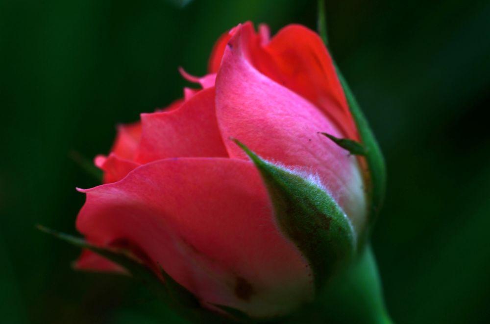Photo in Macro #flower #rose #red #macro #closeup #reverse lens