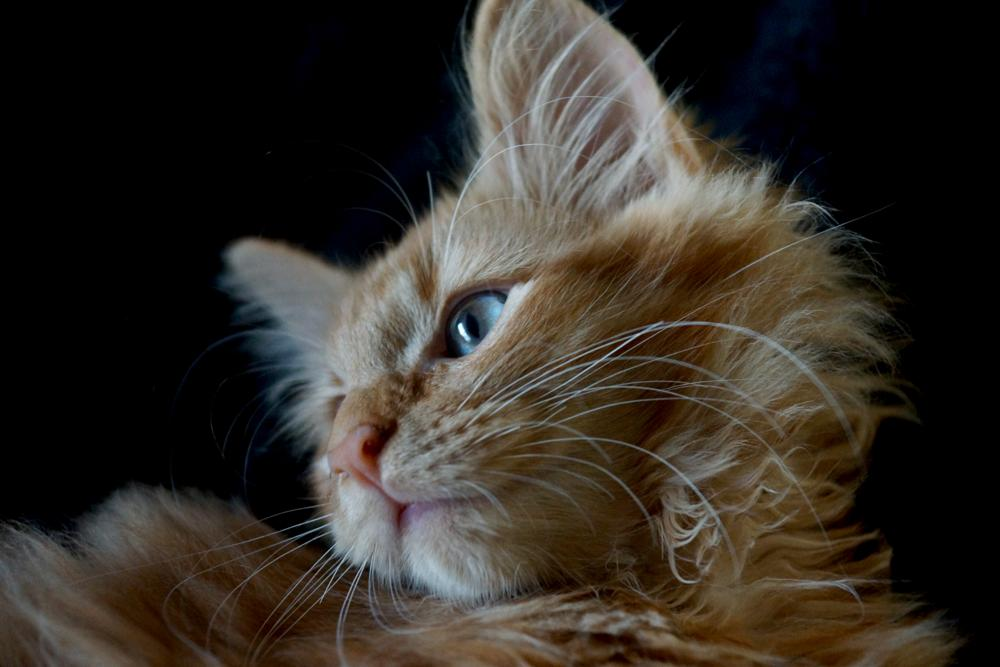 Photo in Animal #cat #close up #red #animal