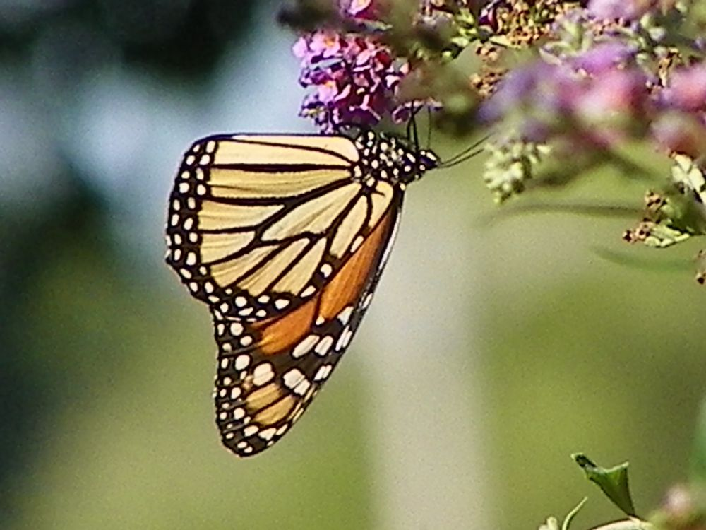 Photo in Animal #animal #butterfly #insect #monarch #patterns #wings #flower