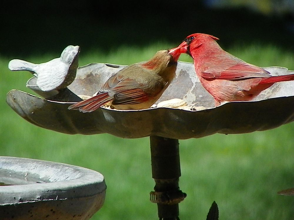 Photo in Animal #animals #birds #cardinals #red #nature #feathers #wings #beaks
