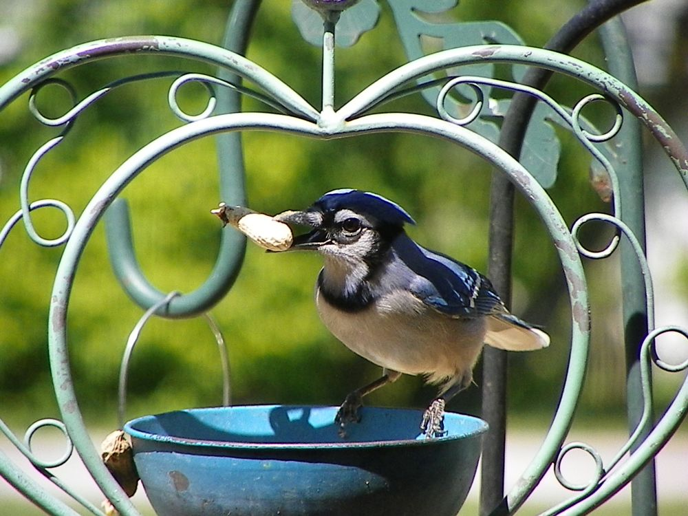 Photo in Animal #animal #bird #blue jay #peanut #feathers #tail