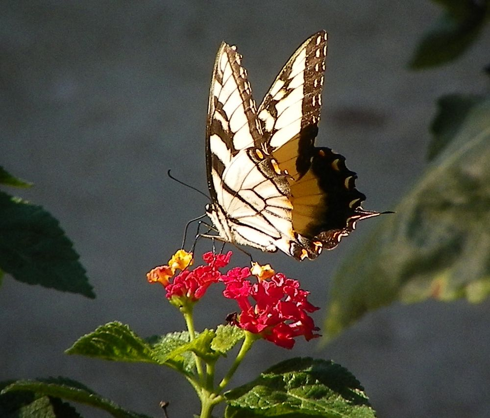 Photo in Nature #animal #insect #butterfly #tiger swallowtail #lantana #bloom #green #yellow #red