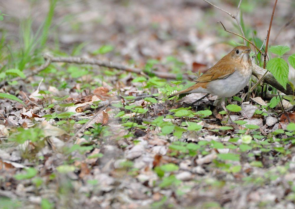 Photo in Animal #birds #nature #veery