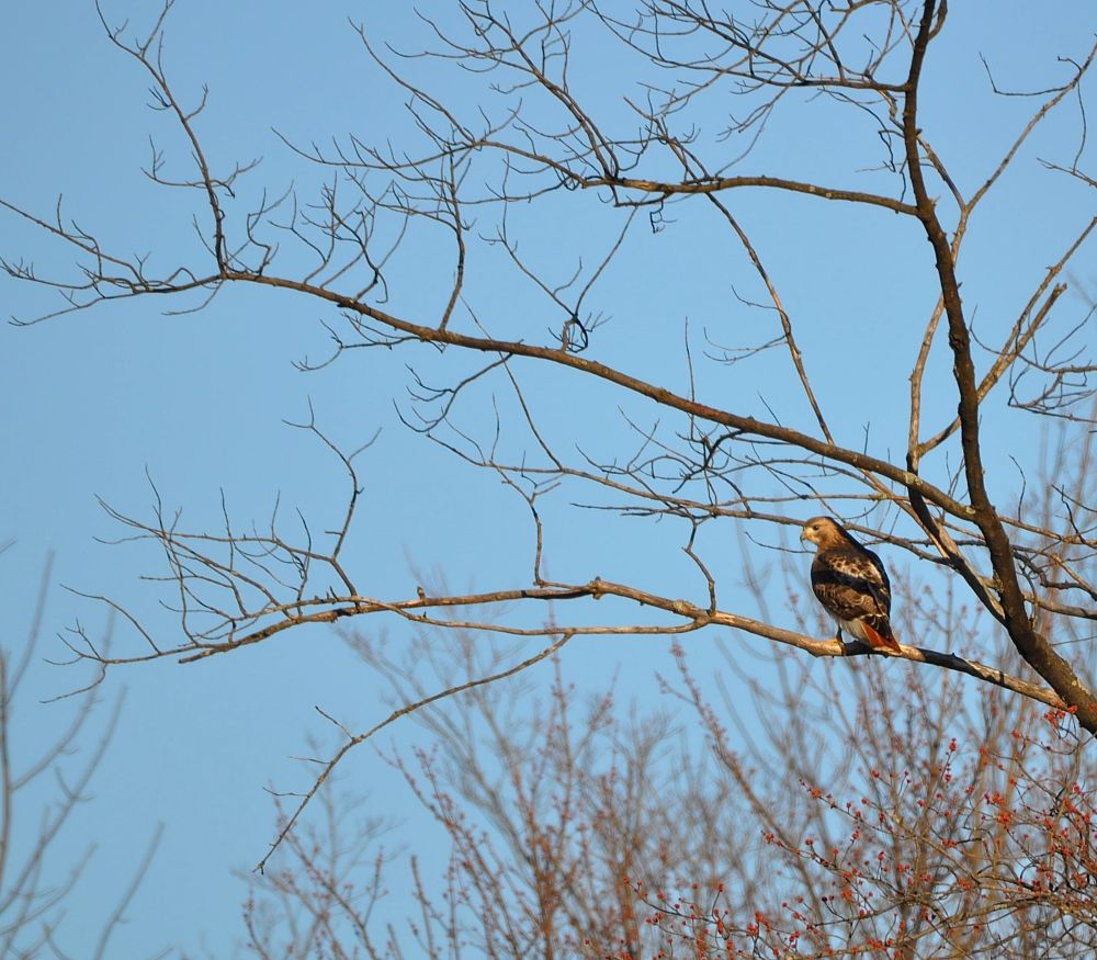 Photo in Animal #red tail hawk #buteo #nature #outdoors