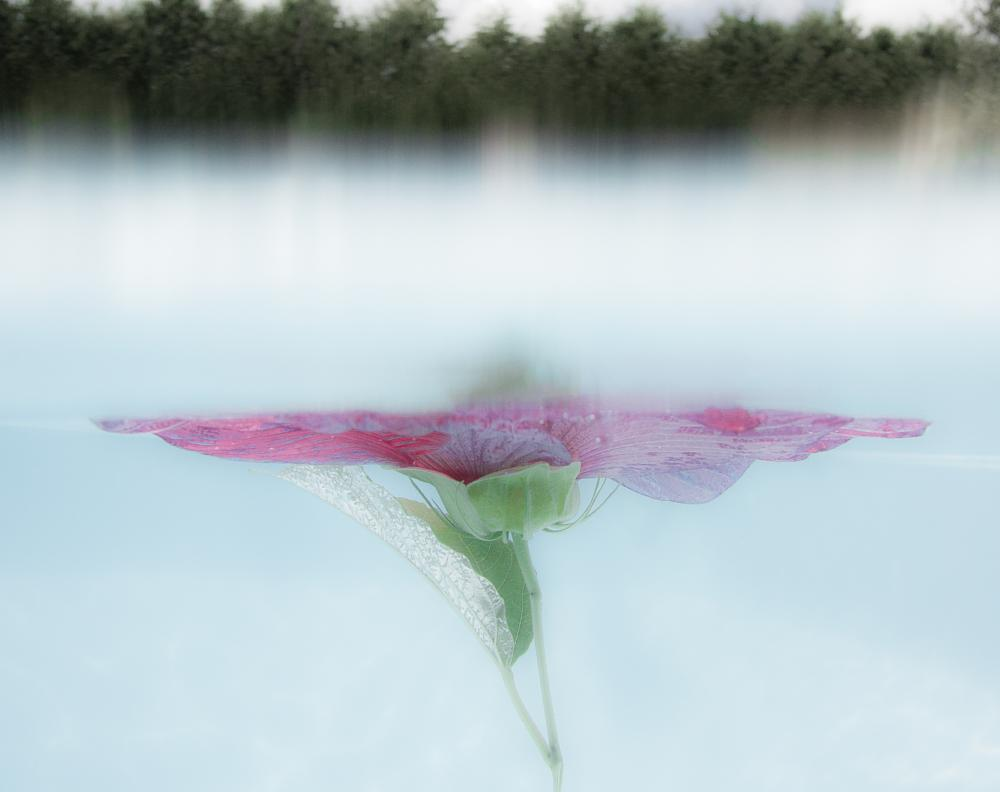 Photo in Underwater #flower #underwater #safire