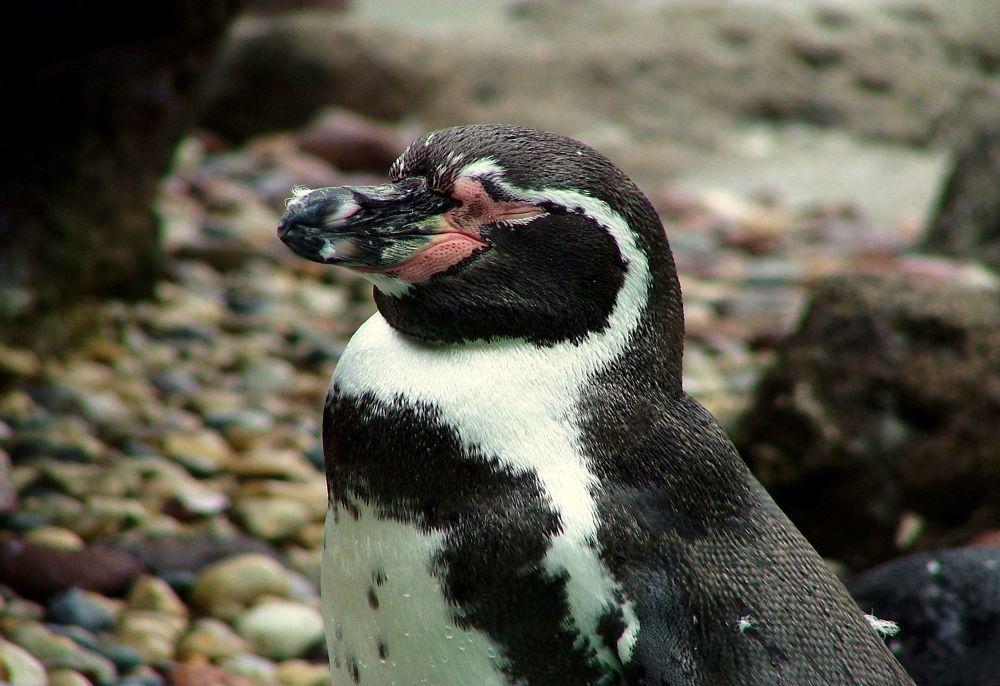 Photo in Animal #penguin #bird #feathers #beak #wings #animal