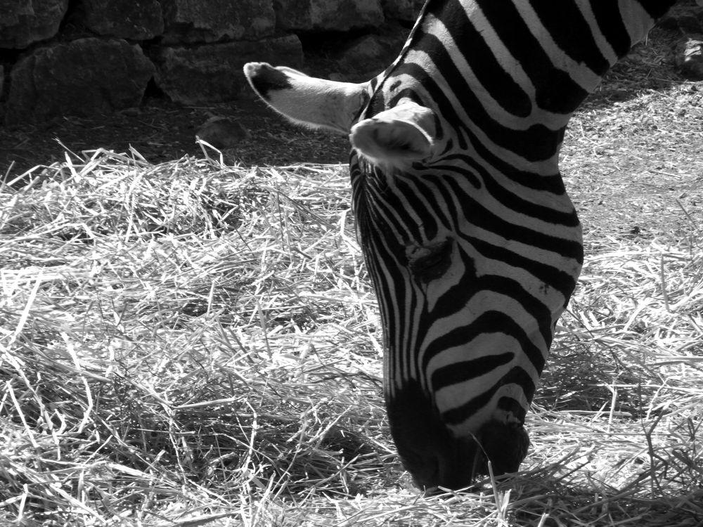 Photo in Animal #zoo_safari #safari in puglia #animali #zabra #bianco e nero