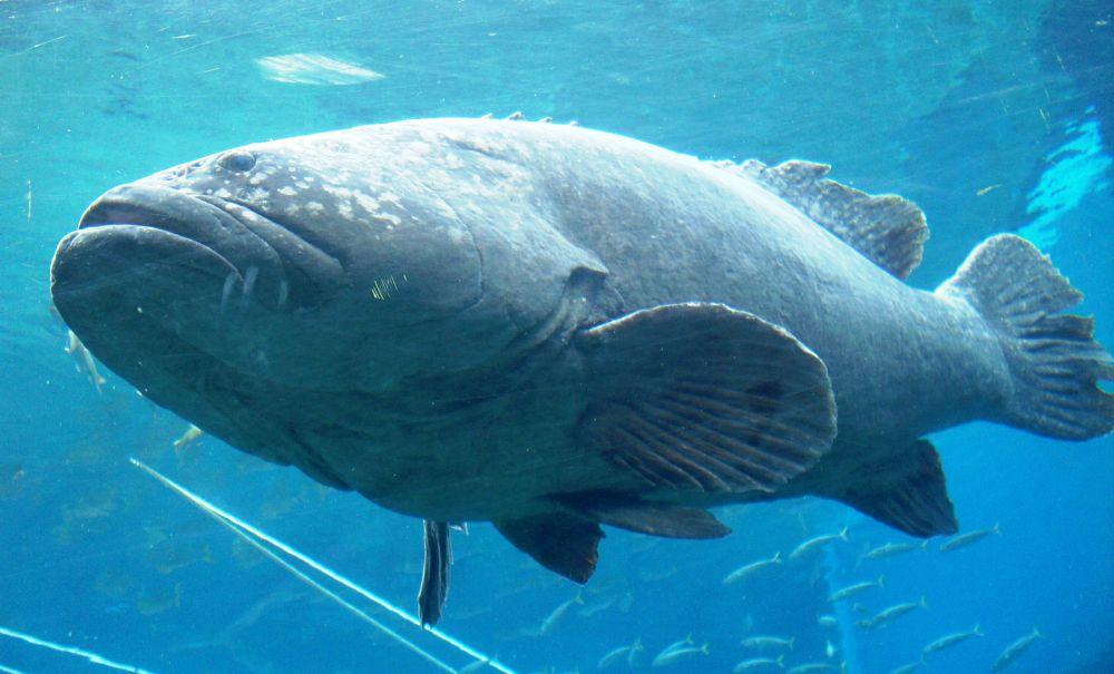 Photo in Nature #fish #bass #potato bass #sea #ocean #underwater #nature #outdoor #random #animal