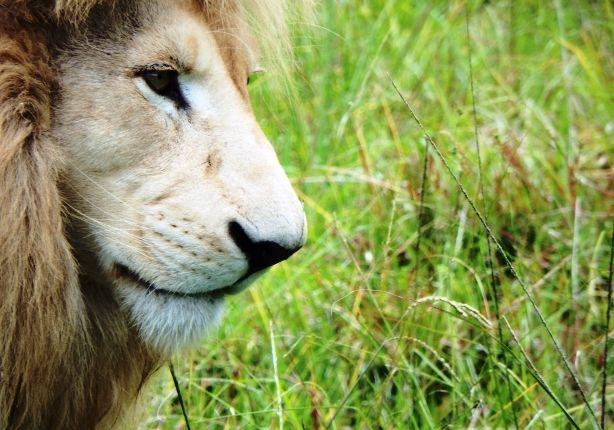 Photo in Animal #white lion #whaite #lion #animal #mammal #nature #outdoor #wild #cat #big #big cat #male lion #male #grass