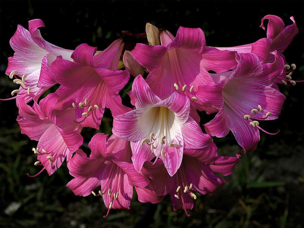 Photo in Landscape #amaryllis #flowers #nature