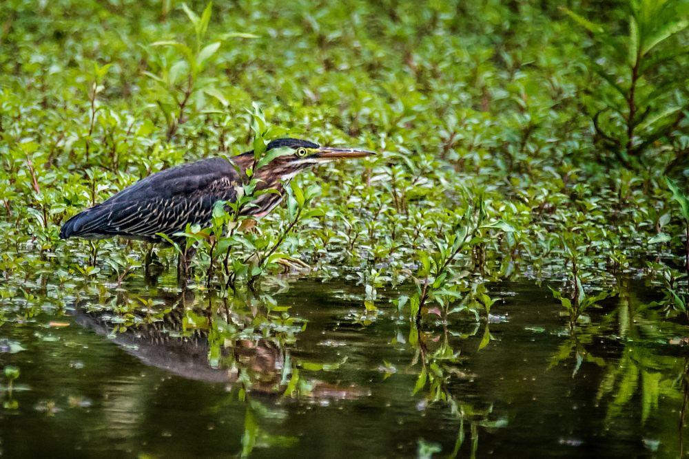 Photo in Animal #avians #avian art #avian photography #birds #birds as art #bird photography #herons #green heron #landscape #composition #wildlife #animals #nature #outdoors