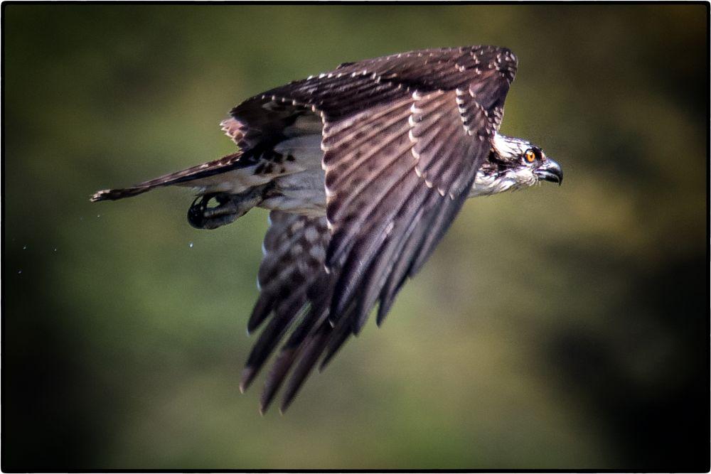 Photo in Animal #birds #birds as art #bird photography #bokeh #avians #avian art #avian photography #birds in flight #raptors #osprey #osprey in flight