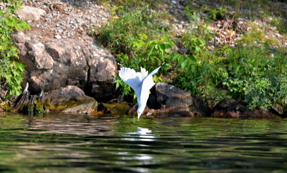 Photo in Nature #seagull #bird #animal #nature #diving #water #nikon #d4 #300mm