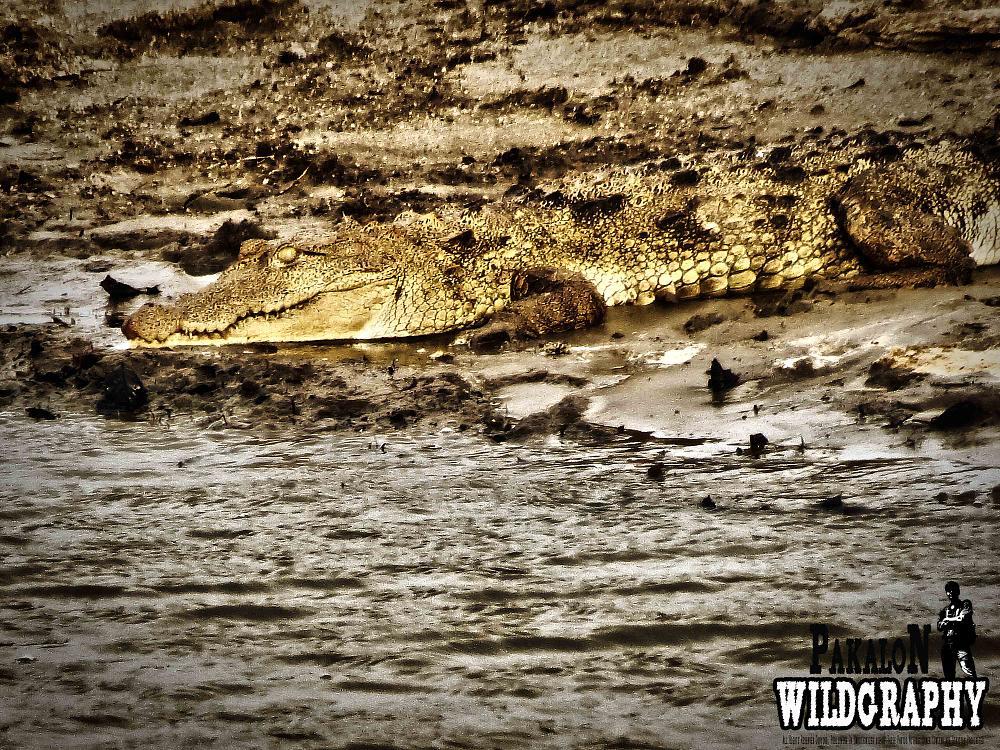 Photo in Animal #crocatile #wildlife #animal
