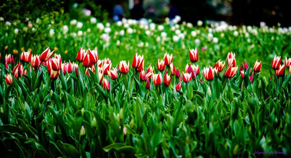 Photo in Landscape #tulipani #pralormo #piemonte #italia #nikon d3000