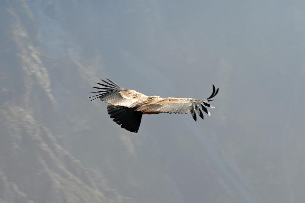 Photo in Animal #peru #colca #eagle
