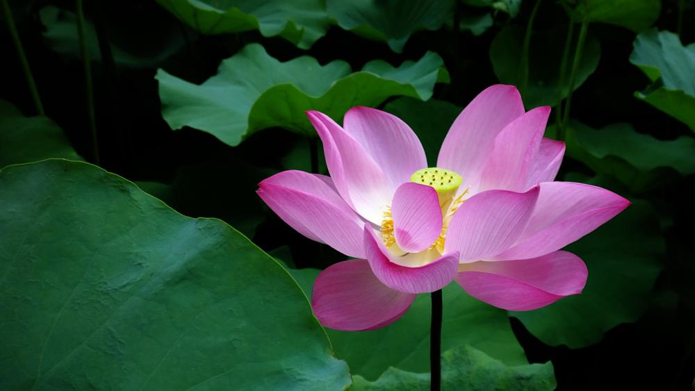 Photo in Nature #lotus #flower #plant