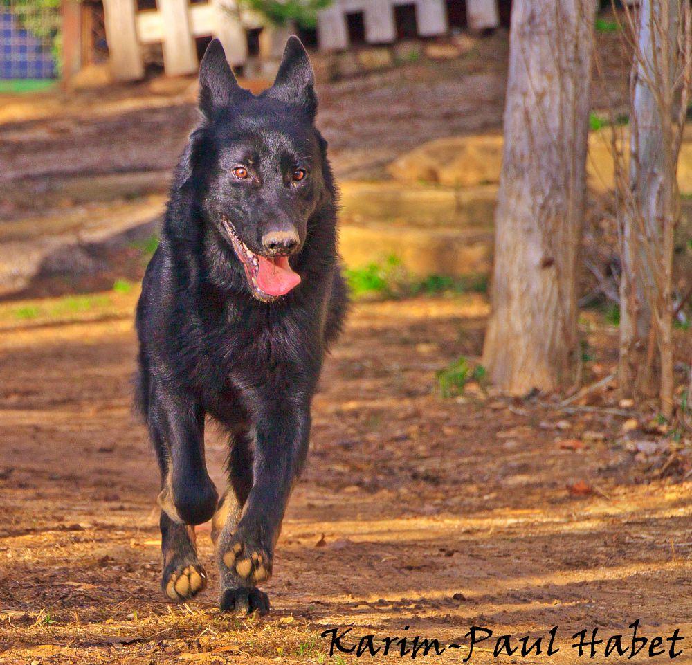 Photo in Random #dog #chien #berger allemand #german sheherd
