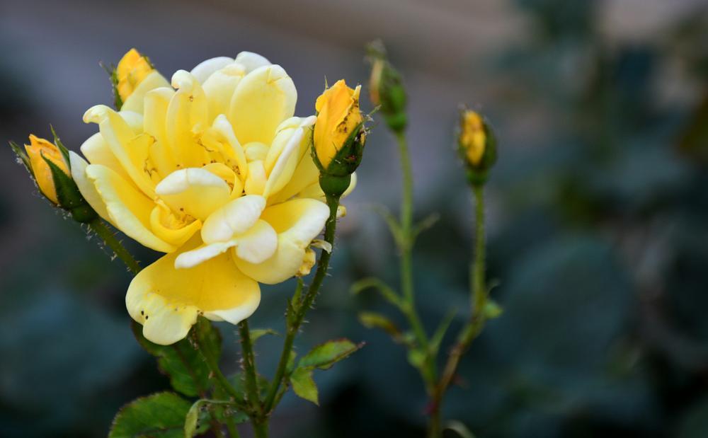 Photo in Nature #rose #yelllow #green