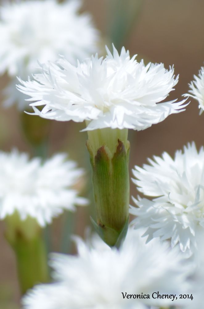 Photo in Nature #white wild flowers #spring flowers
