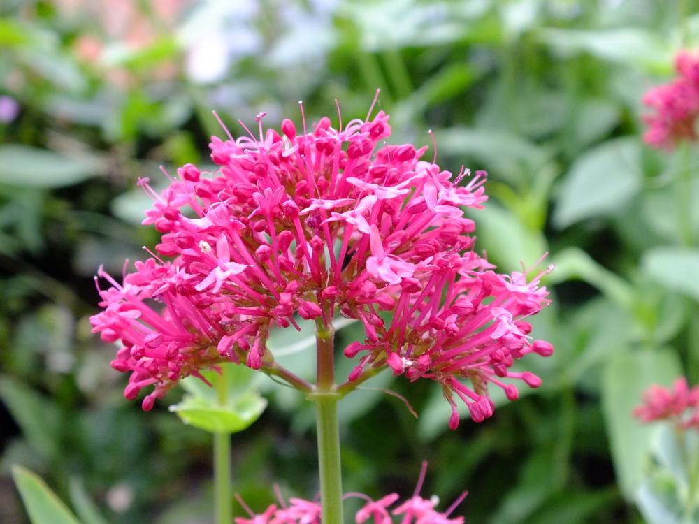 Photo in Macro #pink #flower #durham