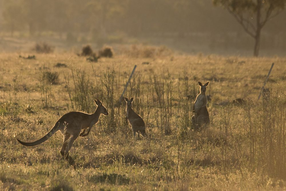 Photo in Random #wildlife #roos #farming