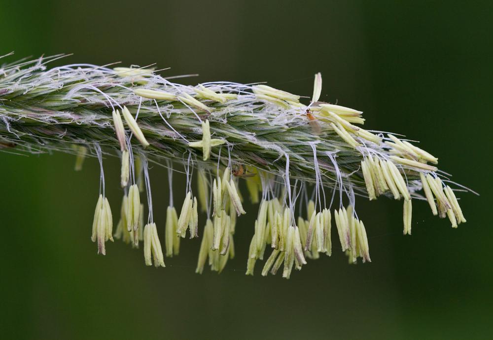 Photo in Macro #macro #botanic #blossom #grass