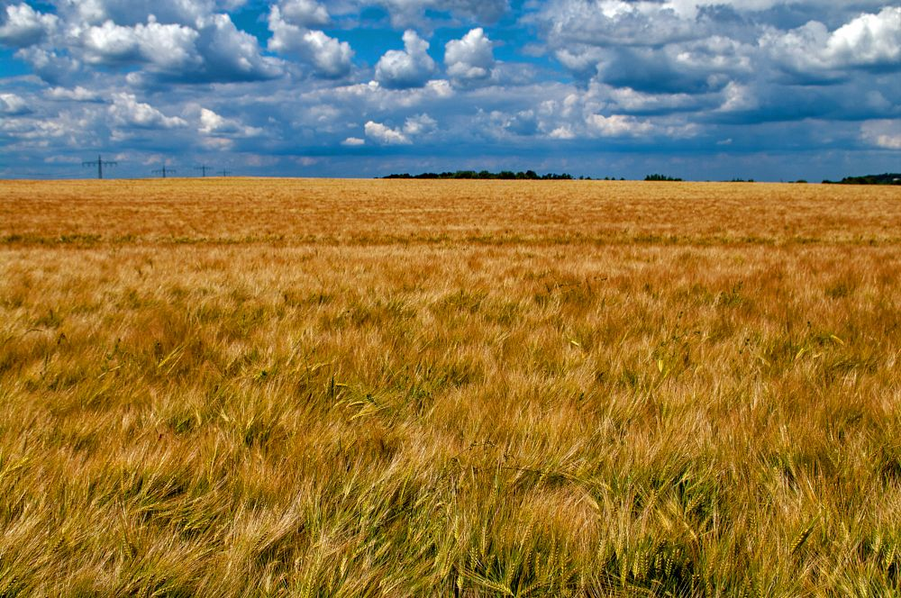Photo in Nature #nature #field #cereals #sky #clouds